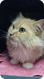 Maine Coon Cat for adoption in Stafford, Virginia - Inez