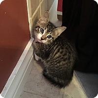 Adopt A Pet :: Cougar - Trevose, PA