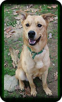 Labrador Retriever/Husky Mix Dog for adoption in Shippenville, Pennsylvania - Gage