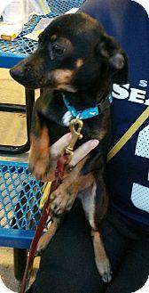 Dachshund/Terrier (Unknown Type, Small) Mix Puppy for adoption in Silverdale, Washington - Vino