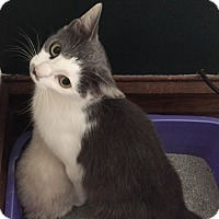 Domestic Shorthair Cat for adoption in Huntington, West Virginia - Charlotte