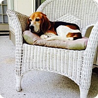 Beagle/Basset Hound Mix Dog for adoption in Bluffton, South Carolina - Freckles