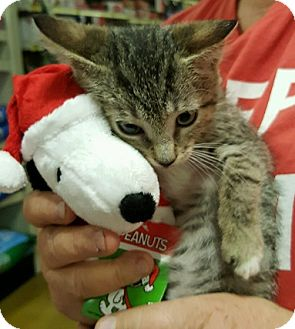 Domestic Shorthair Kitten for adoption in Alhambra, California - Lyn