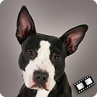 Bull Terrier/Pit Bull Terrier Mix Dog for adoption in Prescott, Arizona - Jetly
