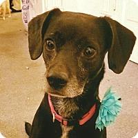 Shepherd (Unknown Type) Mix Dog for adoption in St Louis, Missouri - Honey