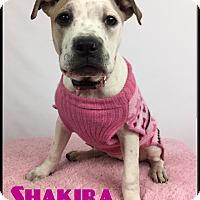 Adopt A Pet :: Shakira - Toledo, OH