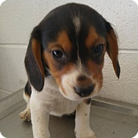 Adopt A Pet :: Yara - Bryson City, NC