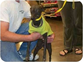 Chinese Crested Dog for adoption in Mesa, Arizona - Phylis Diller