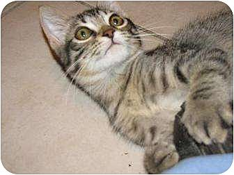 Domestic Shorthair Kitten for adoption in Tomball, Texas - tigTiggerger