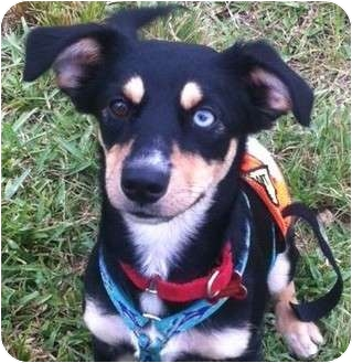 oj adopted dog homestead fl husky rat terrier mix
