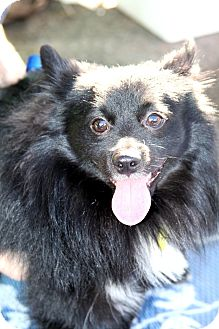 Pomeranian/Schipperke Mix Dog for adoption in Phoenix, Arizona - Baby Bear