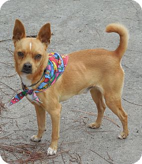 Chihuahua/Pug Mix Dog for adoption in Ormond Beach, Florida - Rosco