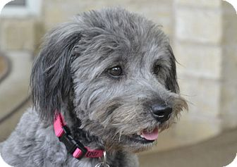 Soft Coated Wheaten Terrier Dogs for Adoption in Austin ...