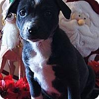 Adopt A Pet :: Abby - Costa Mesa, CA
