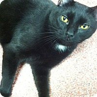 Domestic Shorthair Cat for adoption in Saranac Lake, New York - Phil