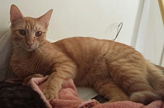 Egyptian Mau Cat for adoption in Cerritos, California - Patrick