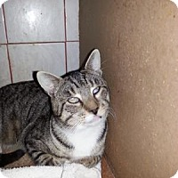 Domestic Shorthair Cat for adoption in Queens, New York - Johnny