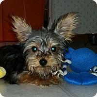 Adopt A Pet :: Teenie - Fairview Heights, IL