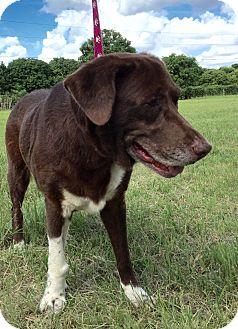 Labrador Retriever Mix Dog for adoption in Key Biscayne, Florida - Lady