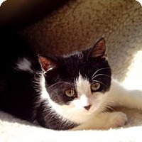 Adopt A Pet :: JoJo Sweet Little Fluffy B/W Kitten - Brooklyn, NY