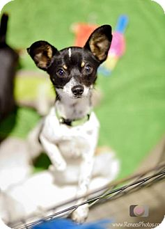 Chihuahua/Rat Terrier Mix Puppy for adoption in Bellbrook, Ohio - Calvin