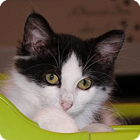 Adopt A Pet :: Pringles - Fairfax, VA