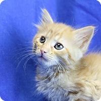 Domestic Longhair Kitten for adoption in Winston-Salem, North Carolina - Alex
