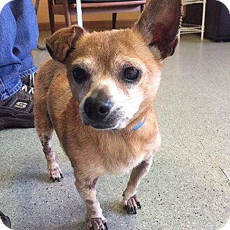 Chihuahua Dog for adoption in Fayetteville, Arkansas - Izzie