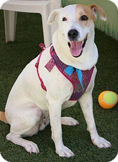 Pointer Mix Dog for adoption in Ft. Lauderdale, Florida - Sasha