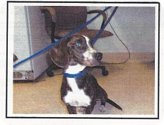 Dachshund/Basset Hound Mix Dog for adoption in Longview, Washington - HUMPHREY