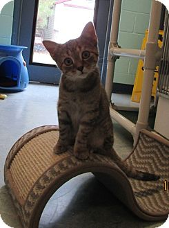 Domestic Shorthair Kitten for adoption in Warrenton, North Carolina - Daisey