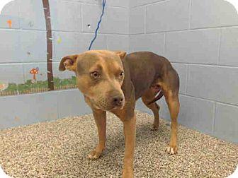 Pit Bull Terrier Mix Dog for adoption in San Bernardino, California - URGENT on 10/21 SAN BERNARDINO