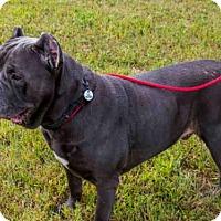 Cane Corso Dog for adoption in Upper Marlboro, Maryland - ROCKLEE