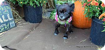 Pomeranian Mix Dog for adoption in Edmond, Oklahoma - Hazel (Adoption Pending)