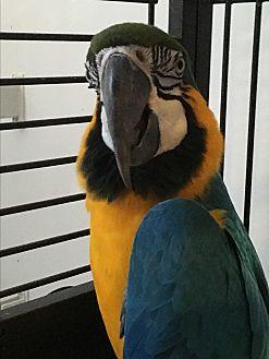 Macaw for adoption in Punta Gorda, Florida - Max