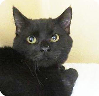 Domestic Mediumhair Kitten for adoption in Lincolnton, North Carolina - Mousse  $20