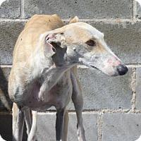 Adopt A Pet :: Carpanta - Indianapolis, IN