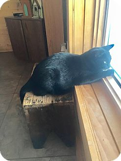 Domestic Shorthair Cat for adoption in Valley City, North Dakota - Phoebe
