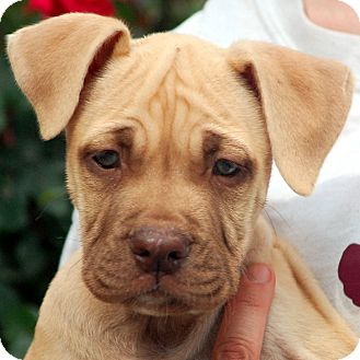 Yellow Lab Mastiff MixYellow Lab Mastiff Mix
