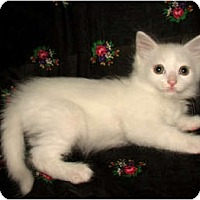 Adopt A Pet :: 2 WHITE KITTENS - Norwich, NY