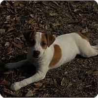 Adopt A Pet :: A-ROD - hartford, CT