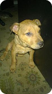 Labrador Retriever Dog for adoption in San Antonio, Texas - A320645 Rabbit