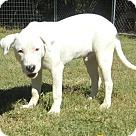 Adopt A Pet :: Bruiser - Reduced Fee $300
