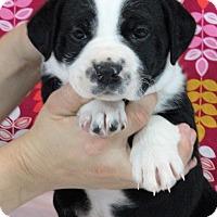 Adopt A Pet :: Katniss - Starkville, MS