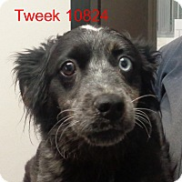 Adopt A Pet :: Tweek - baltimore, MD