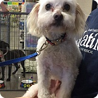 Adopt A Pet :: Charles - Phoenix, AZ