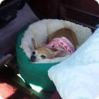 Adopt A Pet :: Bella - Wallingford Area, CT
