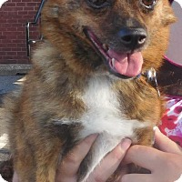 Adopt A Pet :: Hot Toddy - Rockville, MD