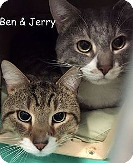 Domestic Shorthair Cat for adoption in Cliffside Park, New Jersey - JERRY