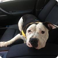 Adopt A Pet :: Ceasar - Dallas, GA